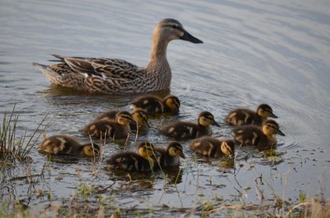 2013-04-08 ducklings